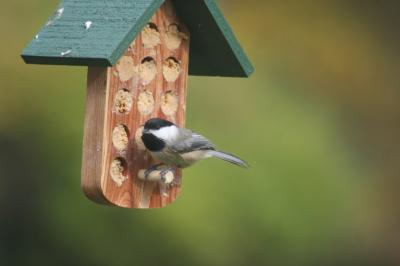 Chickadee on Bark Butter Feeder