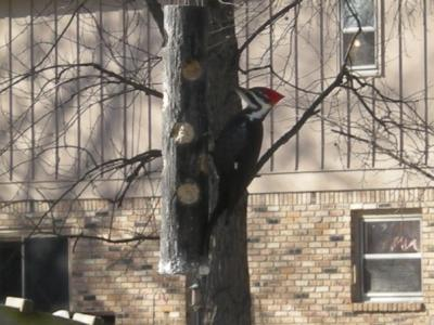 New Year's Pileated Woodpecker