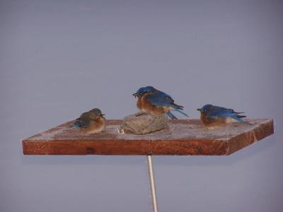 Nikkie's Bluebirds 2