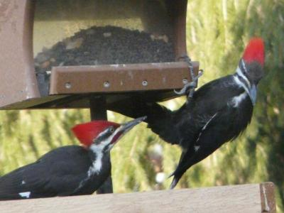 Pileated Woodpeckers, Male and Female