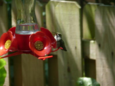 Hummingbird with Mouth Open