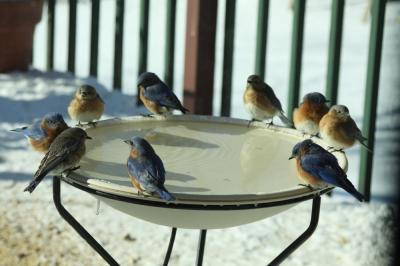 bluebirds on heated bird bath
