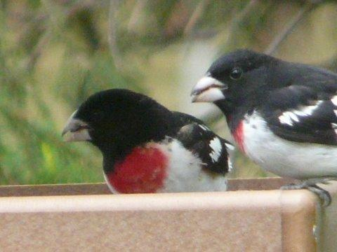 male rose-breasted grosbeaks