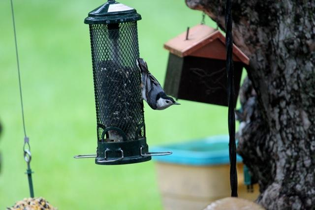 Nuthatch on Mini-butster