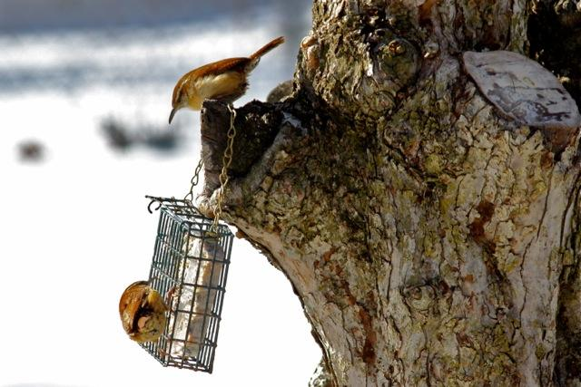 Carolina Wrens checking out the suet