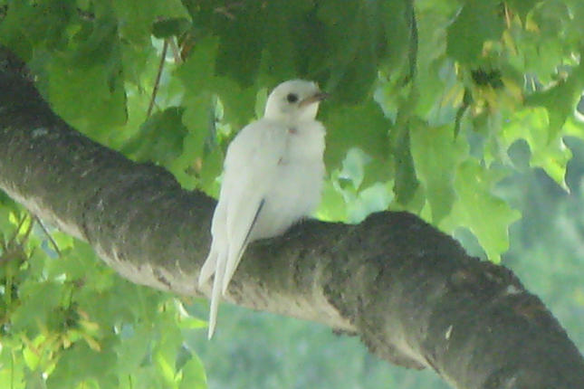 White Bluebird (Leustic)