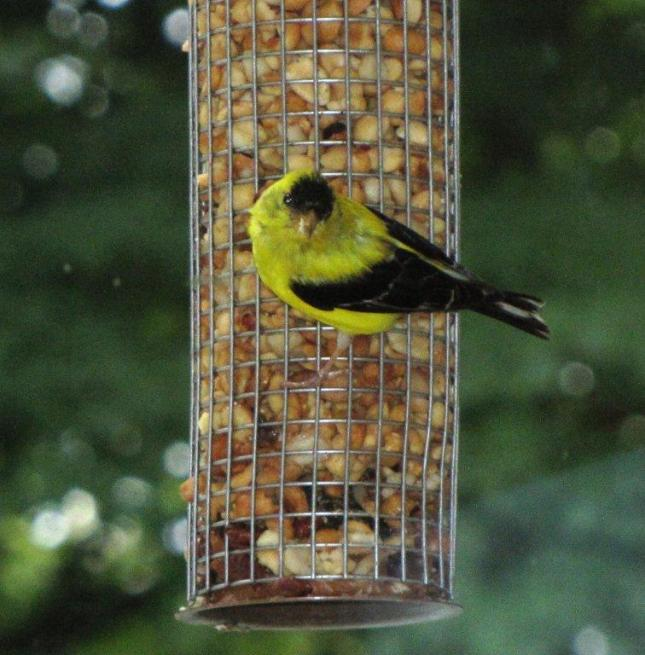 Goldfinch on Peanut Feeder