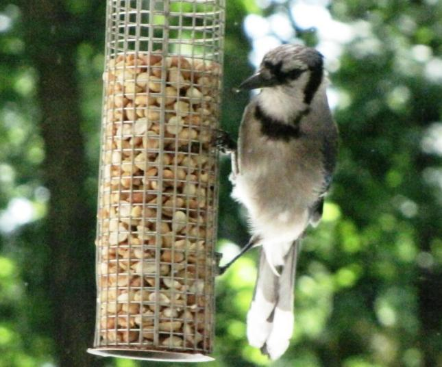 Blue Jay on Peanut Feeder